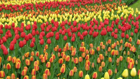 keukenhof-holland-park-tulpanov