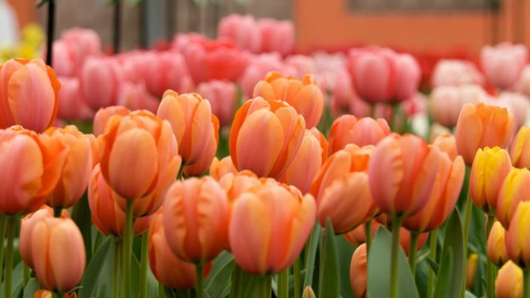 park-cvetov-keukenhof-gollandiya-ekskursiya