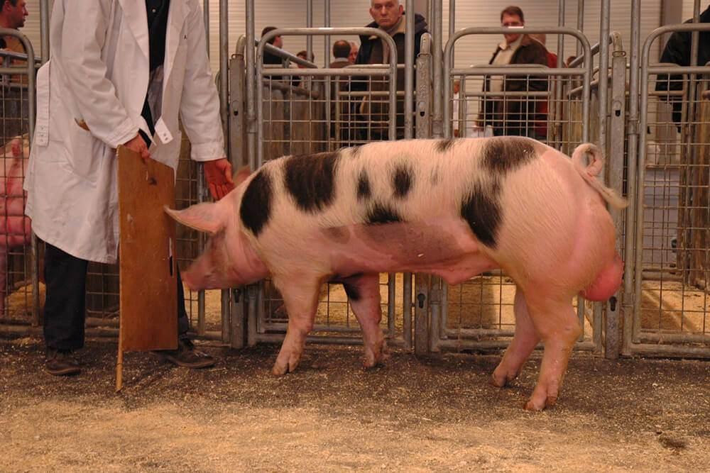 Животноводческие фермы Голландии